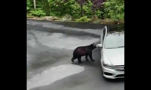 車に近づくクマ