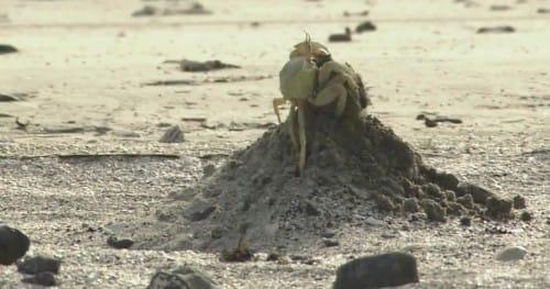 砂山を作るカニ