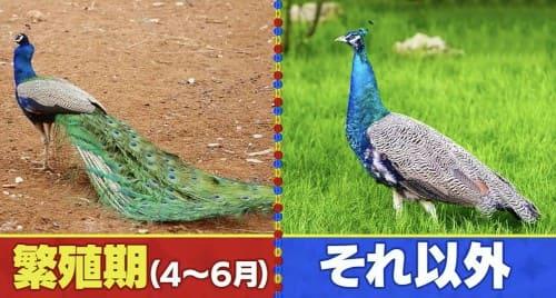 繁殖期に生える飾り羽