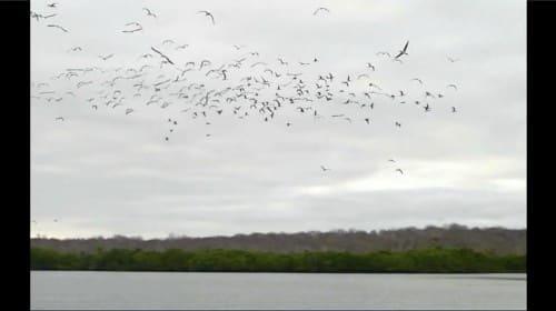 アオアシカツオドリの大群