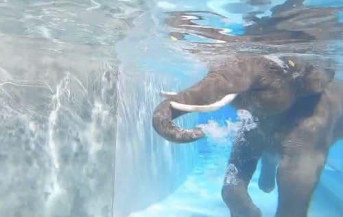 ゾウが泳ぐ