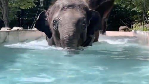 水に浸かるゾウ