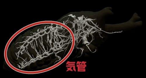 カブトムシの気管