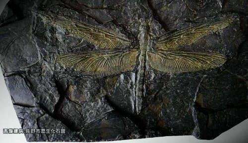 メガネウラの化石