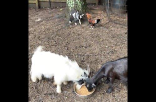 赤ちゃんヤギとニワトリ